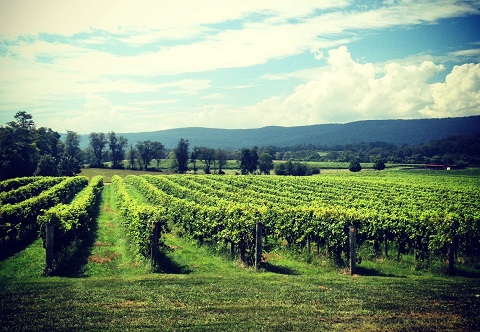 Breaux Vineyards in Leesburg is one of the largest grape growers in Virginia. Photo By/Trevor Baratko